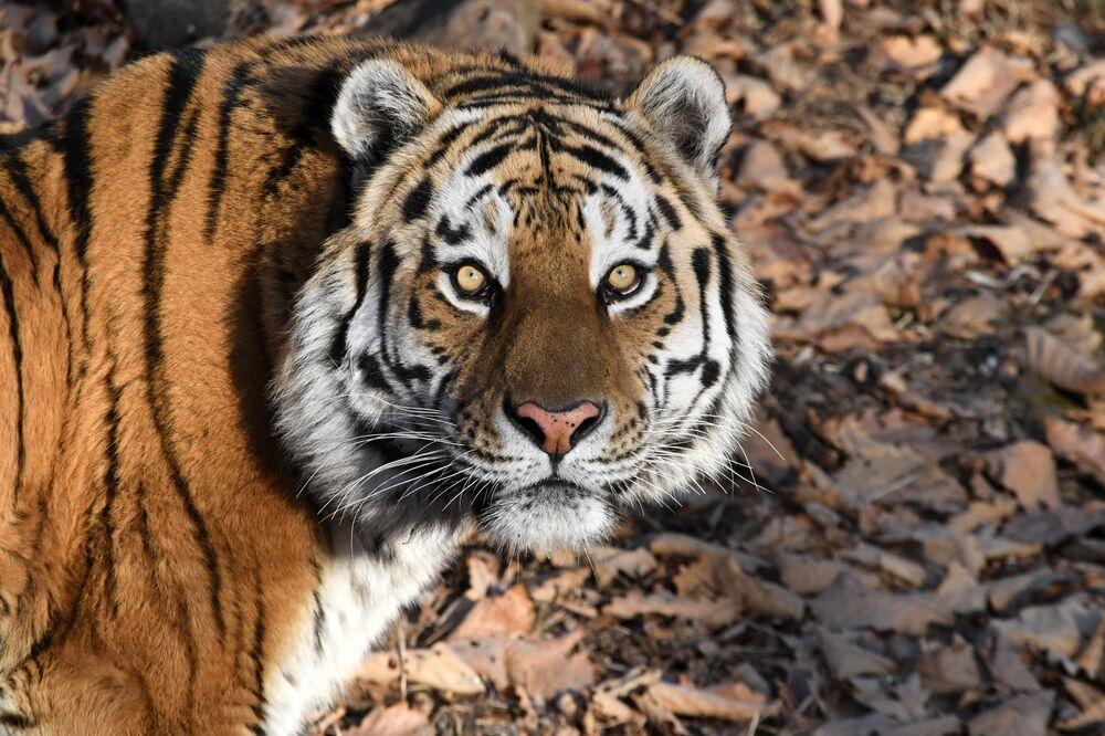 Tygrys syberyjski w parku safari w Kraju Nadmorskim