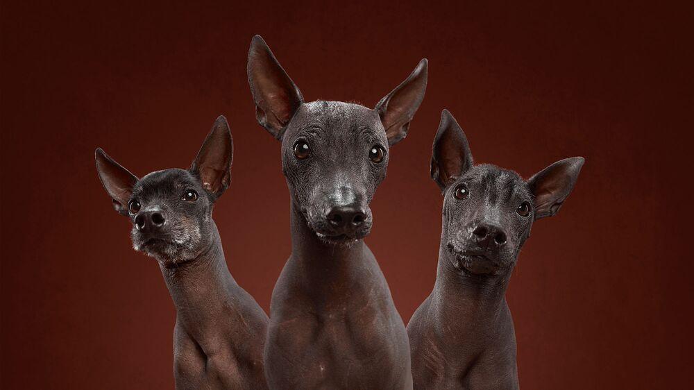 Maley, Pinky i Nanda, pieski rasy nagi pies meksykański