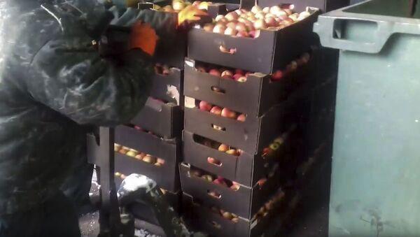 Kadr z wideo z utylizacji polskich jabłek w Krasnojarsku, które są zabronione do importu do Rosji - Sputnik Polska