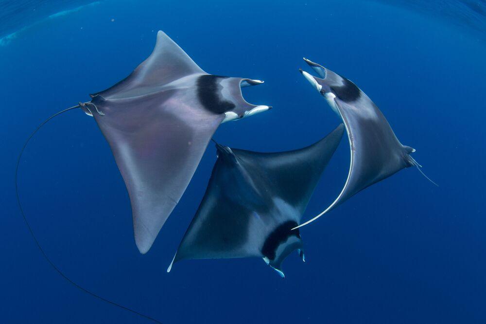 """Japońskie diabły morskie na zdjęciu pt. """"Devil Ray Ballet"""". I miejsce w konkursie fotograficznym 7th Annual Ocean Art Underwater Photo Contest"""