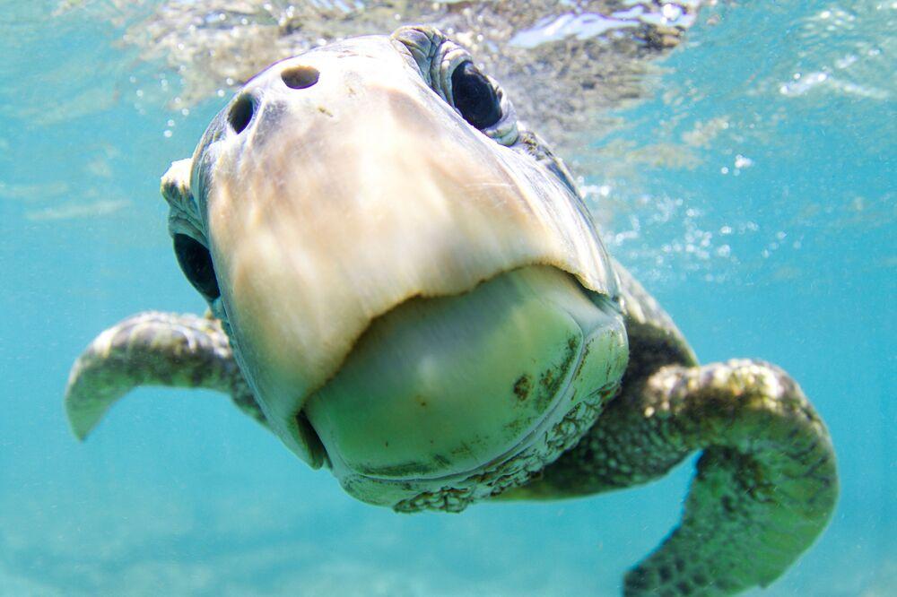 """Żółw zielony na zdjęciu pt. """"Curiosity"""". Nagroda honorowa w kategorii Portrait w konkursie fotograficznym 7th Annual Ocean Art Underwater Photo Contest"""