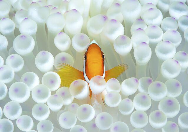 """Amphiprion na zdjęciu pt. """"Nemo"""". Nagroda honorowa w kategorii Portrait w konkursie fotograficznym 7th Annual Ocean Art Underwater Photo Contest"""