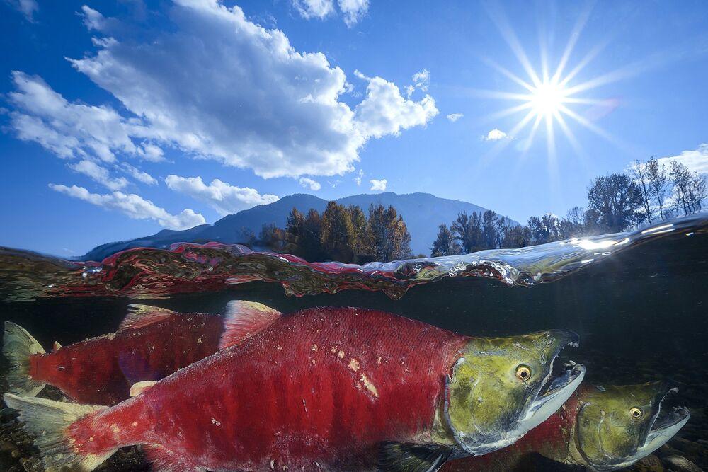 """Nerka na zdjęciu pt. """"Pacific Red Sockeye. Nagroda honorowa w kategorii Wide-Angle Category w konkursie fotograficznym 7th Annual Ocean Art Underwater Photo Contest"""