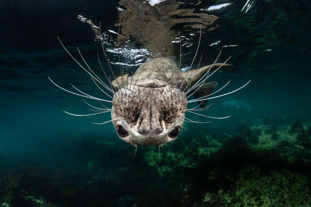 """Szarytka morska na zdjęciu pt. """"Grey Seal Face"""". I miejsce w kategorii Cold Water w konkursie fotograficznym 7th Annual Ocean Art Underwater Photo Contest"""