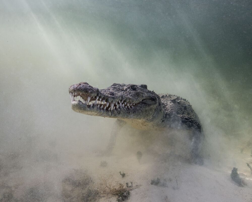 """Krokodyl amerykański na zdjęciu pt. """"Croc in the Mist"""". I miejsce w kategorii Portrait w konkursie fotograficznym 7th Annual Ocean Art Underwater Photo Contest"""
