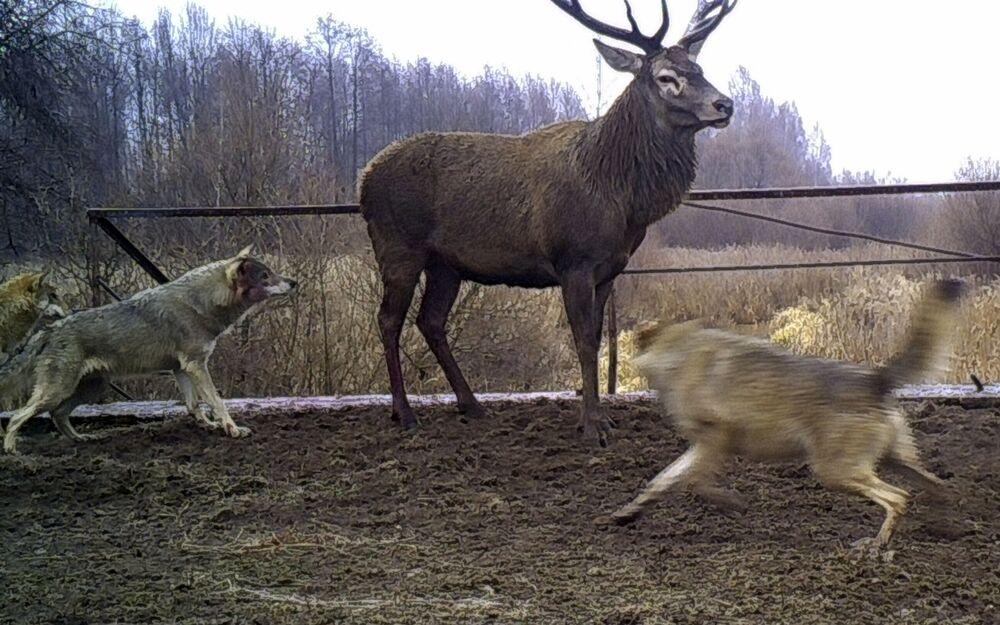 Wilki atakują jelenia w strefie wykluczenia wokół Czarnobyla