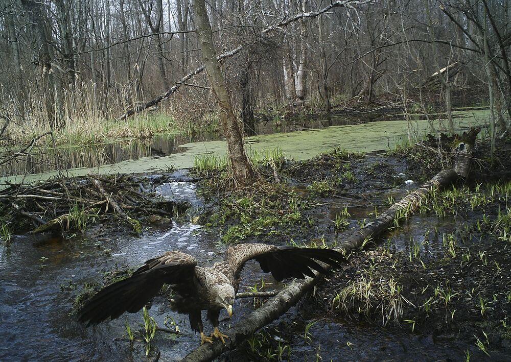 Orzeł bielik w strefie wykluczenia wokół Czarnobyla