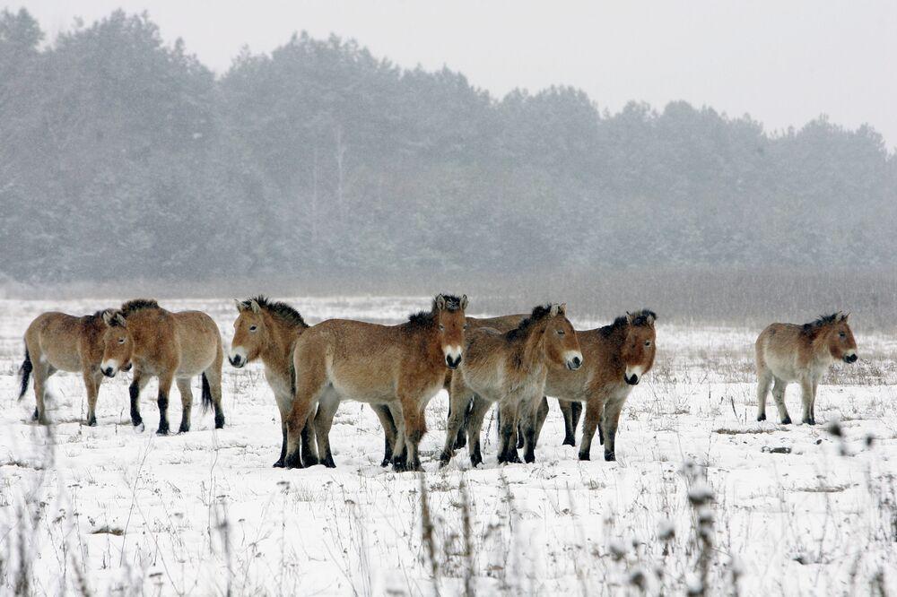 Dzikie konie w strefie wykluczenia wokół Czarnobyla