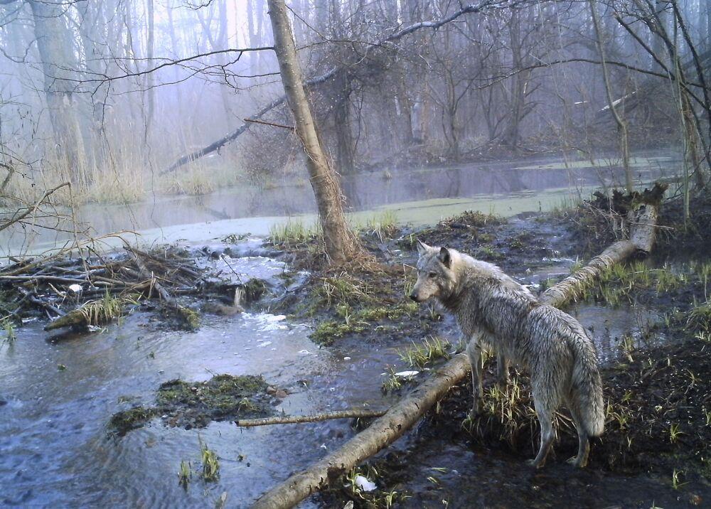 Wilk w strefie wykluczenia wokół Czarnobyla