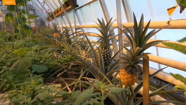 Pierwsze zbiory ananasów na Walaamie - Sputnik Polska