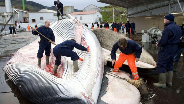 Rybacy rozdzielają tuszę wieloryba złowionego na północ od Reykjaviku, na zachodnim wybrzeżu Islandii - Sputnik Polska